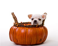 dog in pumpkin basket